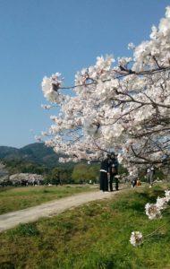 桜,政庁跡,